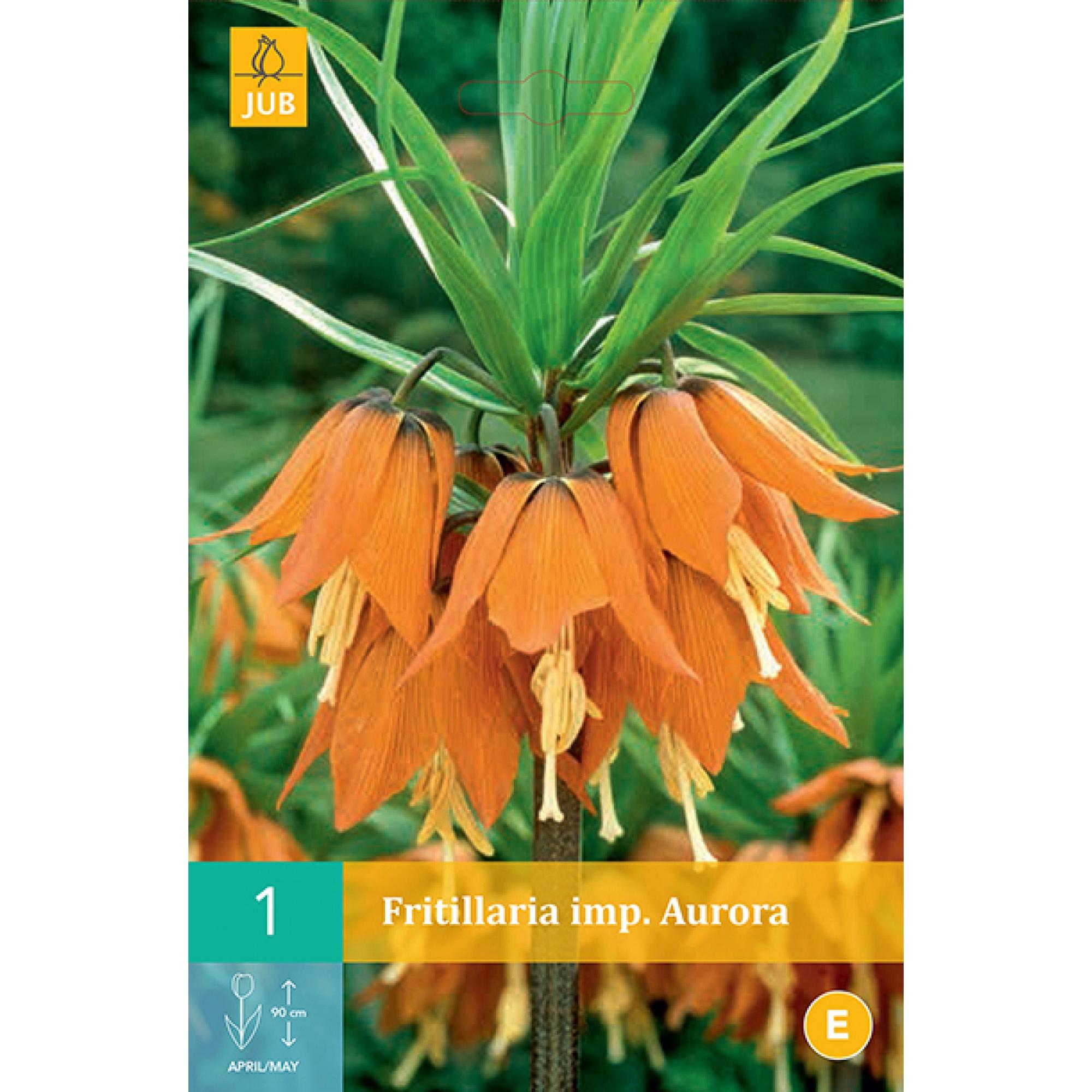 Рябчик JUB (Fritillaria) imp. Aurora 1 шт